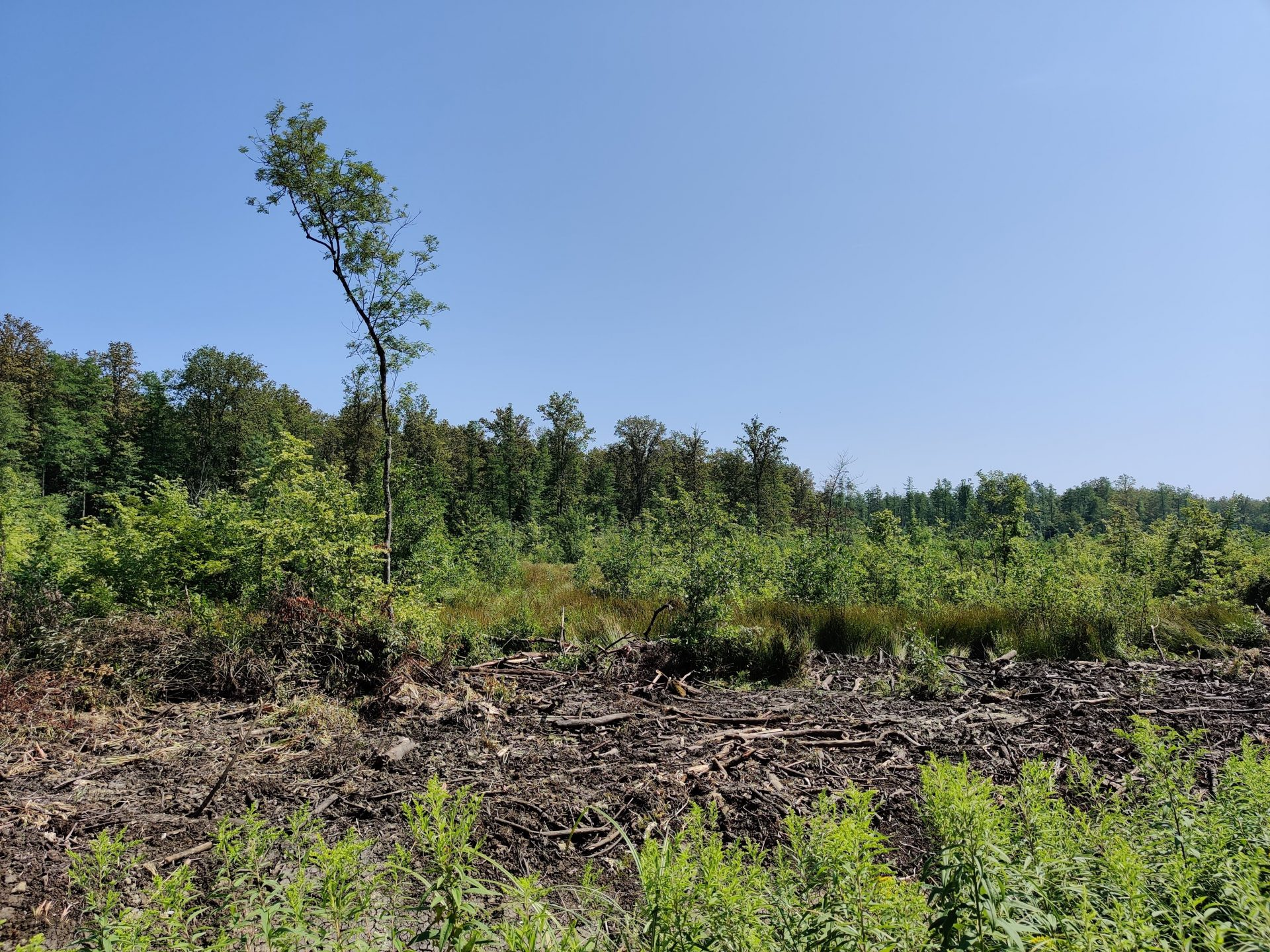 illegal clear-cuts in the Croatian forest of Crna Mlaka